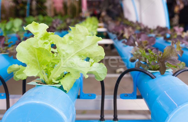 Stock photo: Organic hydroponic vegetable  in greenhouse
