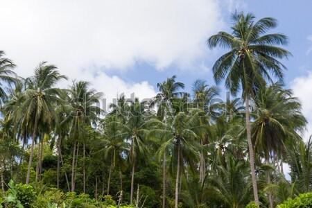 Kókuszpálma fák kókusz ültetvény sziget Thaiföld Stock fotó © stoonn