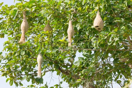 Baya weaver bird nest Stock photo © stoonn