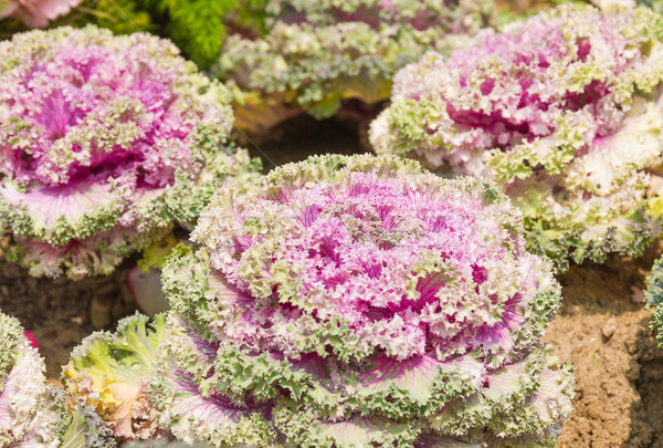 Fresh violet Cabbage (brassica oleracea) plant leaves Stock photo © stoonn