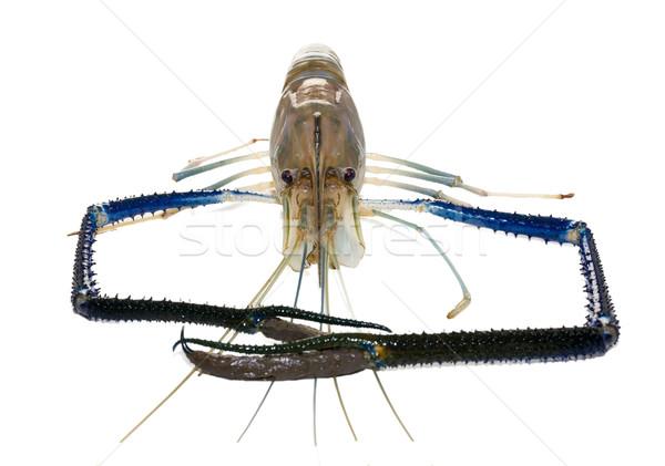 Gigante de agua dulce gamba hombre blanco peces Foto stock © stoonn