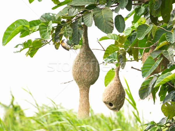 鳥の巣 支店 ツリー 家 美 緑 ストックフォト © stoonn