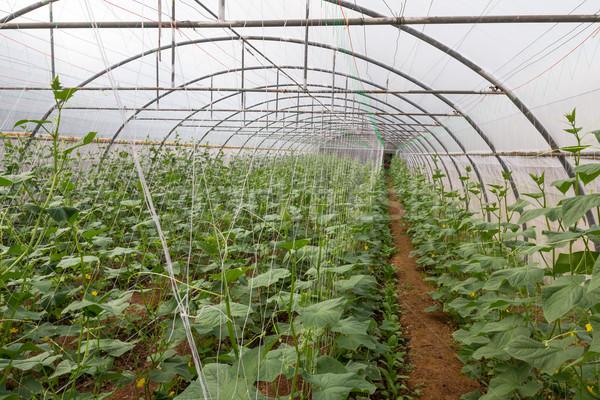 Stock photo: Pumpkin in  greenhouse