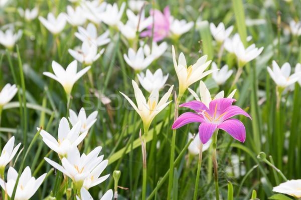 Little Witches flower in garden Stock photo © stoonn