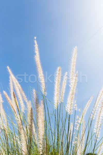 çim mavi gökyüzü tüy doğa gökyüzü bahçe Stok fotoğraf © stoonn