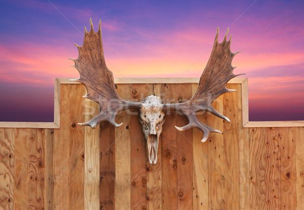 頭蓋骨 ムース 壁 フロント 表示 木製 ストックフォト © stoonn