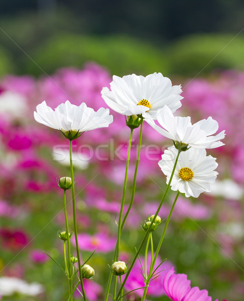 White cosmos flowers  Stock photo © stoonn