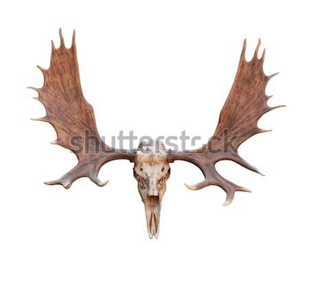 Large elk isolated  Stock photo © stoonn