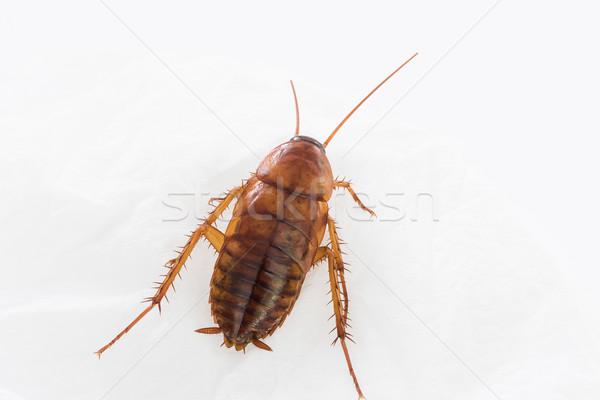 Cucaracha blanco muertos aislado fondo Foto stock © stoonn