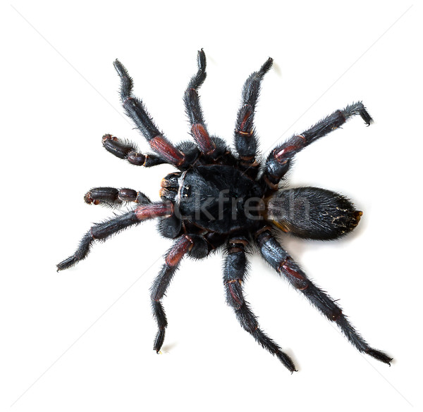 Thai Tarantula on white background Stock photo © stoonn