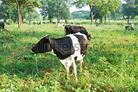 Cow in farm Stock photo © stoonn