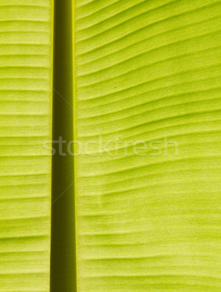 Backlit fresh green banana leaf Stock photo © stoonn