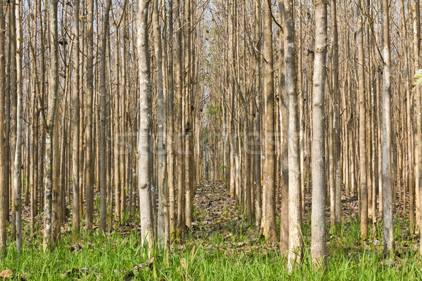 Teak trees at agricultural forest in summer Stock photo © stoonn