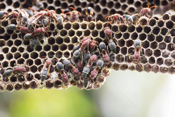 Yuva yetişkin yeşil arı uçmak hayvan Stok fotoğraf © stoonn