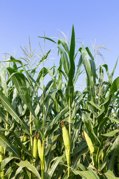 Closeup Corn on the stalk  Stock photo © stoonn