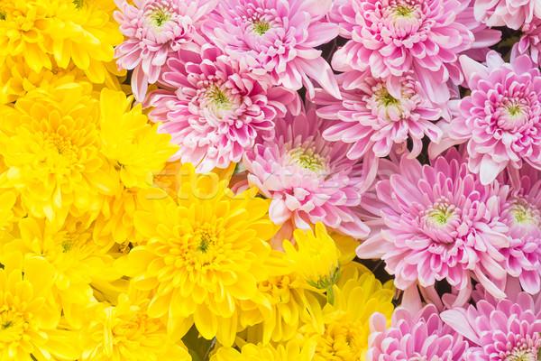 Roze Geel chrysant bloem kleurrijk voedsel Stockfoto © stoonn