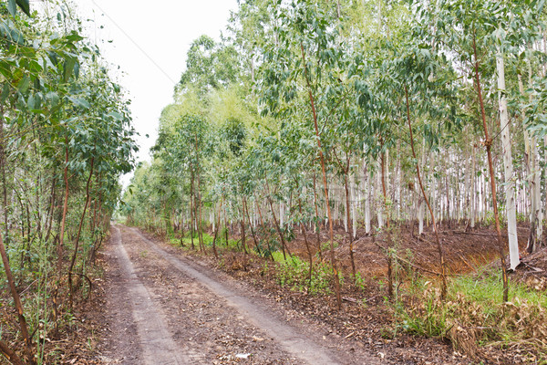 Eucalyptus Plantation Stock photo © stoonn