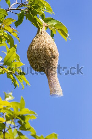 Baya weaver bird nest  branch on tree  Stock photo © stoonn