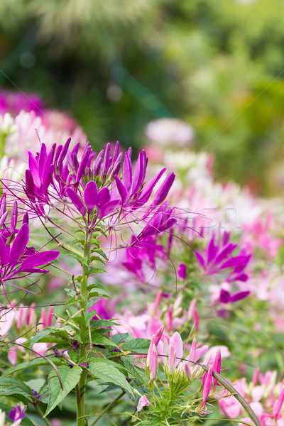 Paars spin bloementuin bloem voorjaar Stockfoto © stoonn
