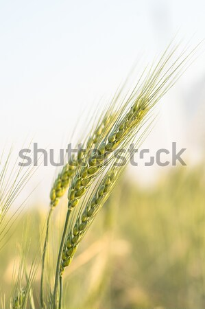 Green barley growing in a field Stock photo © stoonn