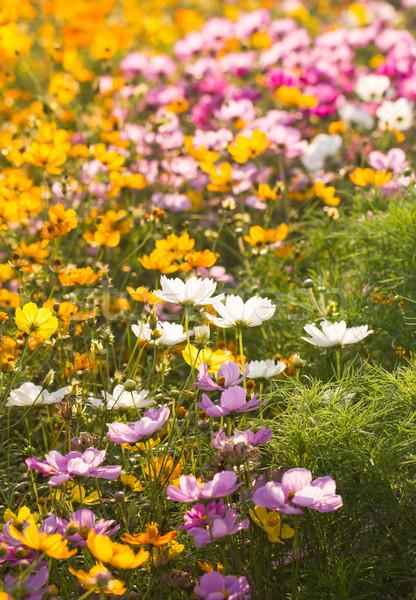 Colorful cosmos flower in garden Stock photo © stoonn