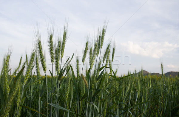 Close up Wheat field in country side Stock photo © stoonn