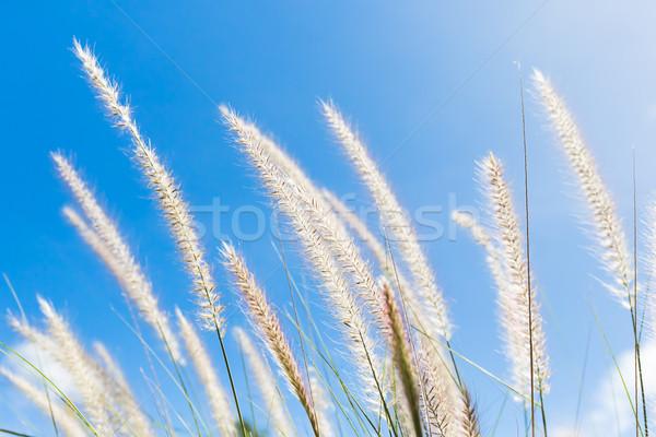 Stock fotó: Fű · kék · ég · toll · természet · égbolt · tavasz