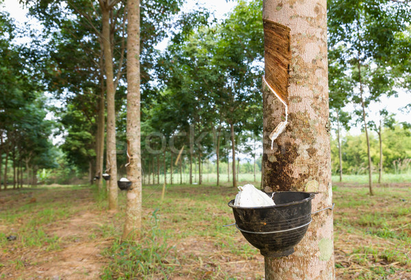 Tapping latex from Rubber tree  Stock photo © stoonn