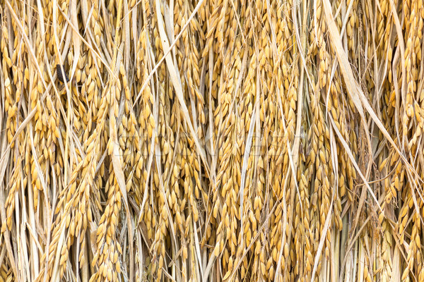 Dry paddy rice Stock photo © stoonn