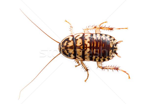 Hamamböceği beyaz ölü yalıtılmış arka plan Stok fotoğraf © stoonn
