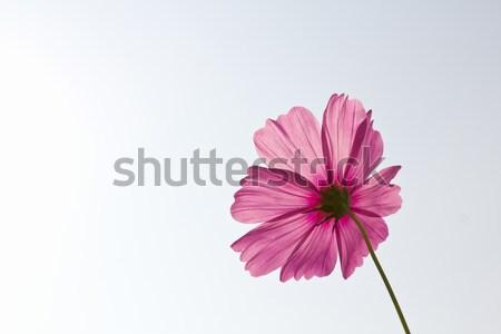 Pink Cosmos flowers  Stock photo © stoonn