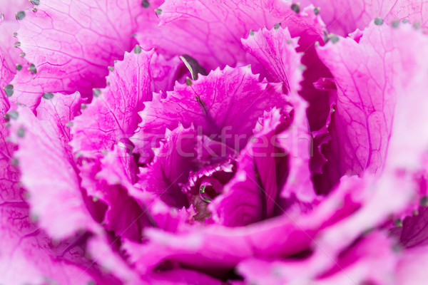 Close up fresh violet cabbage (brassica oleracea) plant leaves  Stock photo © stoonn