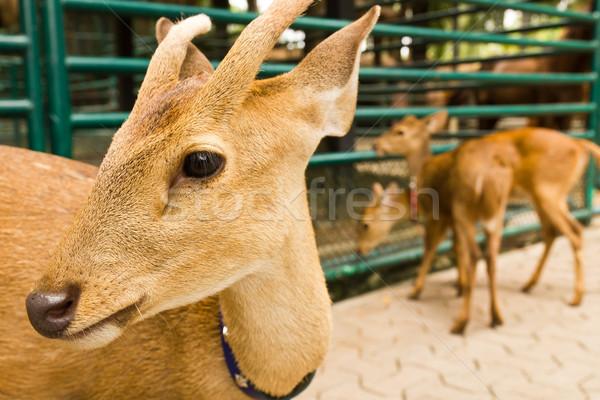 Deer head close-up1 Stock photo © stoonn
