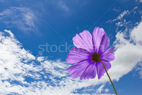Violet Cosmos flowers  Stock photo © stoonn