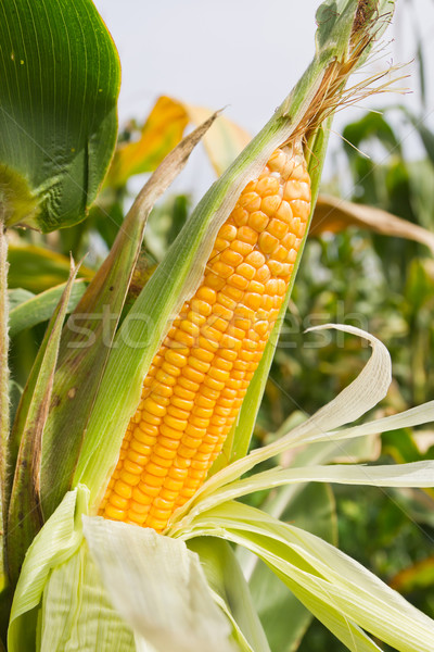 Corn on the stalk Stock photo © stoonn