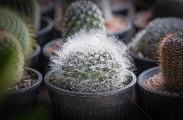 Small cactus in a pot Stock photo © stoonn