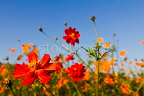 Cosmos flower Stock photo © stoonn