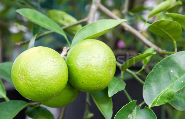 Pomelo fruit Stock photo © stoonn
