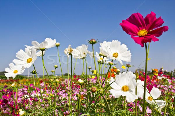 Cosmos flower garden Stock photo © stoonn