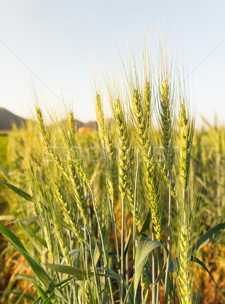 Búzamező vidék oldal közelkép égbolt fű Stock fotó © stoonn