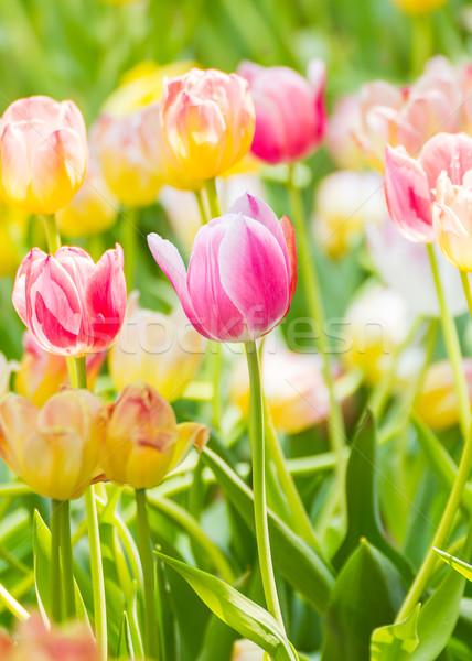 Pink tulip flower in garden Stock photo © stoonn