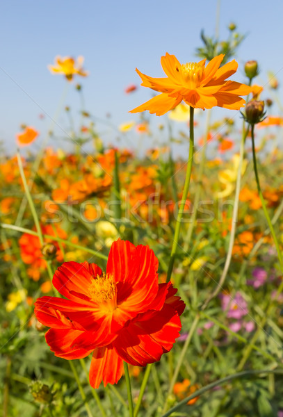 Closeup Orange cosmos flowers or Sulfur cosmos Stock photo © stoonn