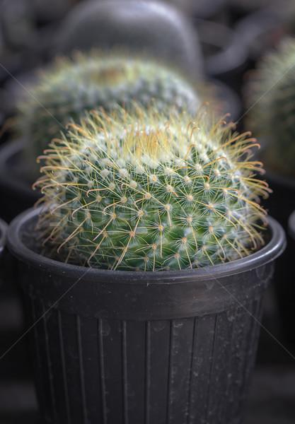 Faible cactus pot jardin terre Photo stock © stoonn