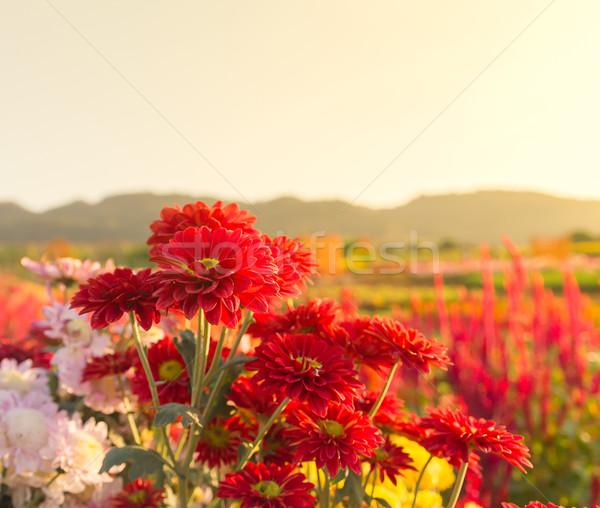 Piros krizantém virágok kert színes háttér Stock fotó © stoonn