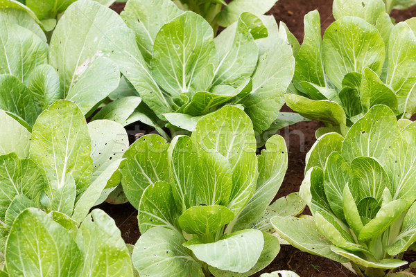 Chinese cabbage plantation Stock photo © stoonn