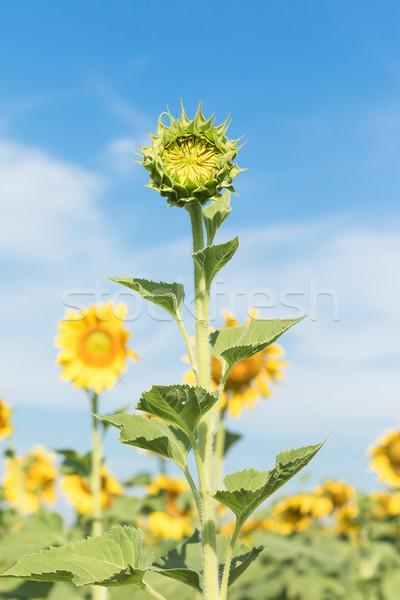 Zonnebloem groei veld zon Stockfoto © stoonn