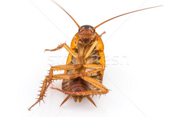 ölü hamamböceği beyaz yalıtılmış arka plan Stok fotoğraf © stoonn