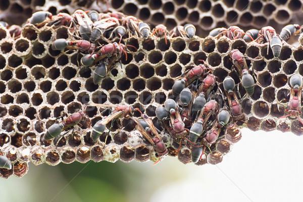 Nest of Hornet Stock photo © stoonn
