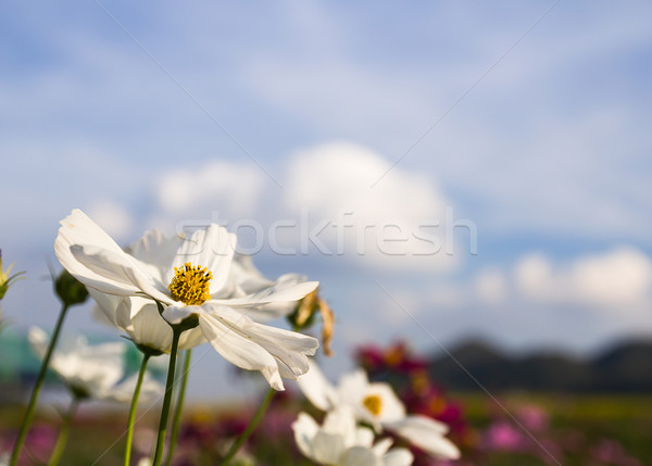 Close up White Cosmos flower Stock photo © stoonn