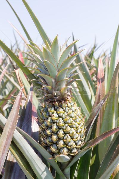 Ananas plantage groene zomer dag Stockfoto © stoonn